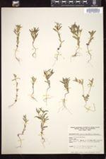 Phlox gracilis subsp. humilis image