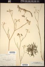 Cynosciadium pinnatum image