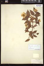Philadelphus grandiflorus image