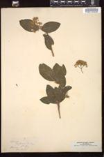 Cornus californica image