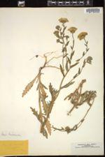Layia hieracioides image