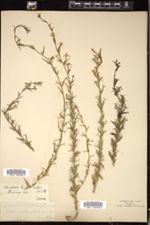 Specularia leptocarpa image
