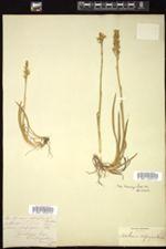 Narthecium ossifragum image