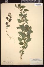 Urtica urens image