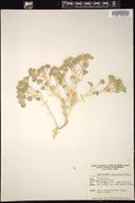 Psathyrotes ramosissima image