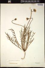 Microseris bigelovii image