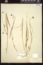 Image of Streptanthus heterophyllus