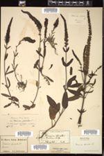 Veronica spicata image