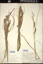 Image of Carex ampullacea