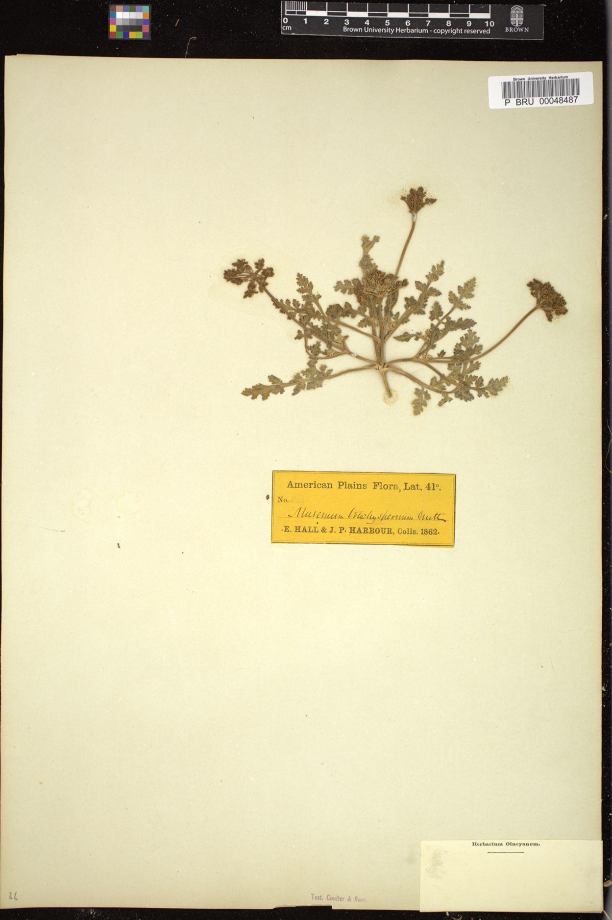 Musineon trachyspermum image