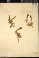 Image of Gentiana newberryi