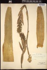 Aechmea nudicaulis image