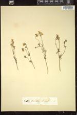 Gilia tricolor image