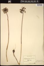 Image of Allium pallens