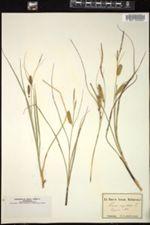 Carex ampullacea image