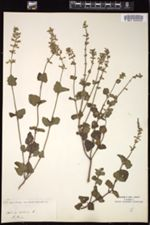 Salvia serotina image