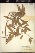 Image of Acrodiclidium salicifolium