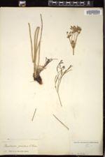 Image of Peucedanum graveolens