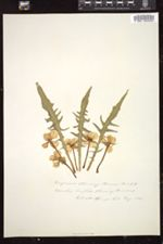 Image of Oenothera breviflora
