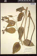 Image of Mertensia platyphylla