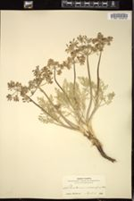 Peucedanum macrocarpum image