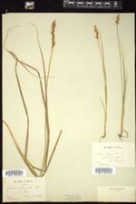 Carex elongata image