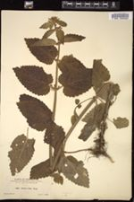 Stachys ciliata image