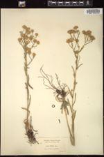 Image of Symphyotrichum hallii