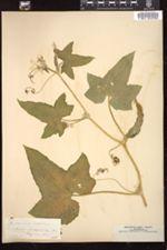 Cucumis sativus image