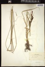 Carex acuta image