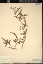 Image of Iva cheiranthifolia