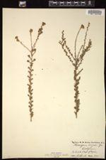 Holocarpha virgata image