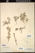 Psilocarphus oregonus image