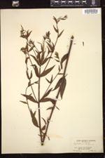 Epilobium parviflorum image