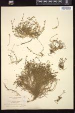 Image of Arenaria ciliata