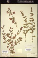 Image of Clinopodium grandiflorum