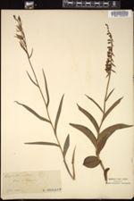 Image of Epipactis rubra
