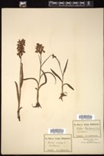 Image of Orchis ustulata