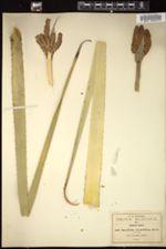 Image of Dasylirion serratifolium