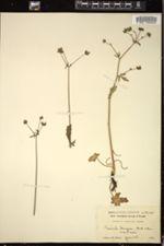 Image of Sanicula menziesii