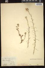 Image of Gilia densifolia