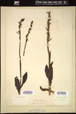 Image of Ophrys muscifera