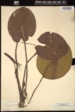 Image of Nymphaea rudgeana
