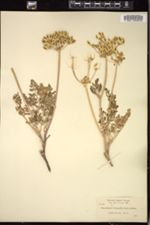 Image of Cogswellia donnellii