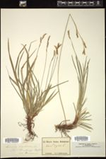 Carex digitata image