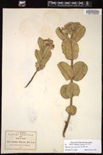Image of Asclepias jaliscana