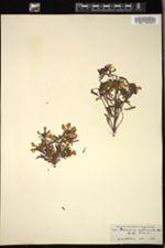 Image of Pedicularis euphrasioides