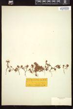 Image of Polygonum coarctatum