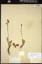 Image of Crepis ambigua