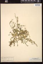 Image of Nasturtium obtusum